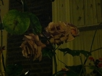 A nocturnal rose