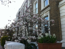 Blossoming magnolia on English house background